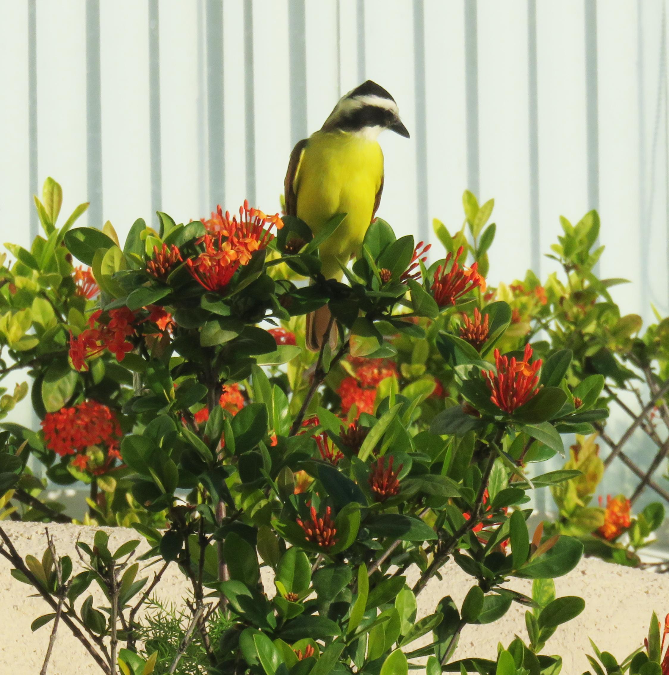kiskadee_bird